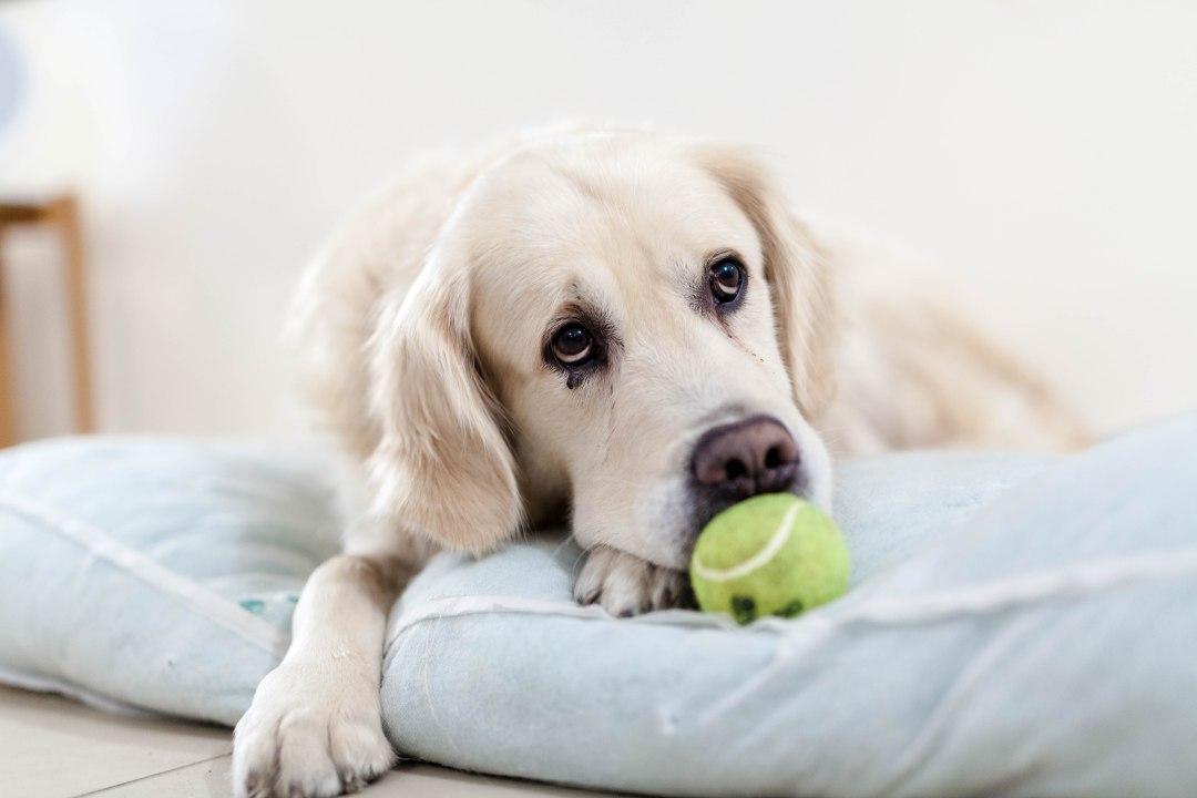 Golden Retriever, dog training